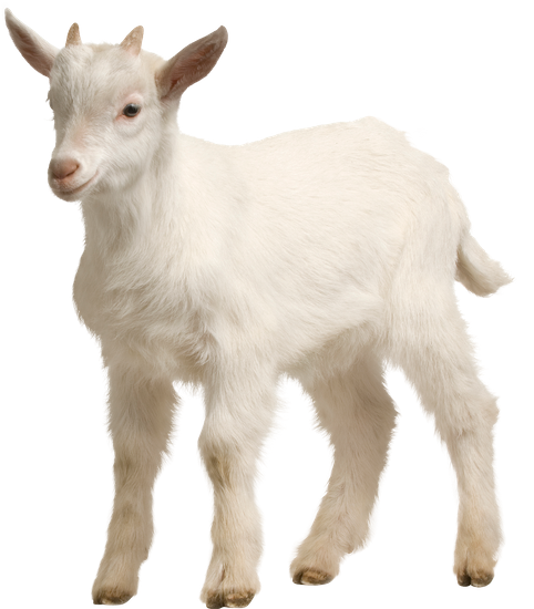 Baby goat png. Free premium stock photos