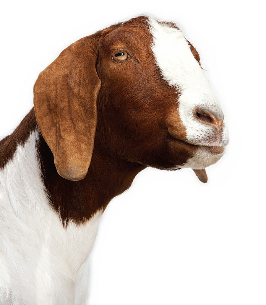 goat .png