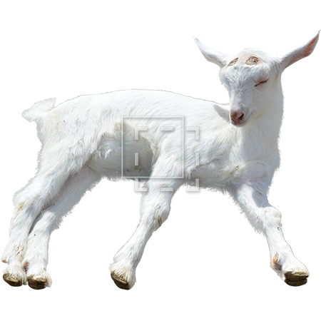 Baby goat png. Sleepy a barely staying