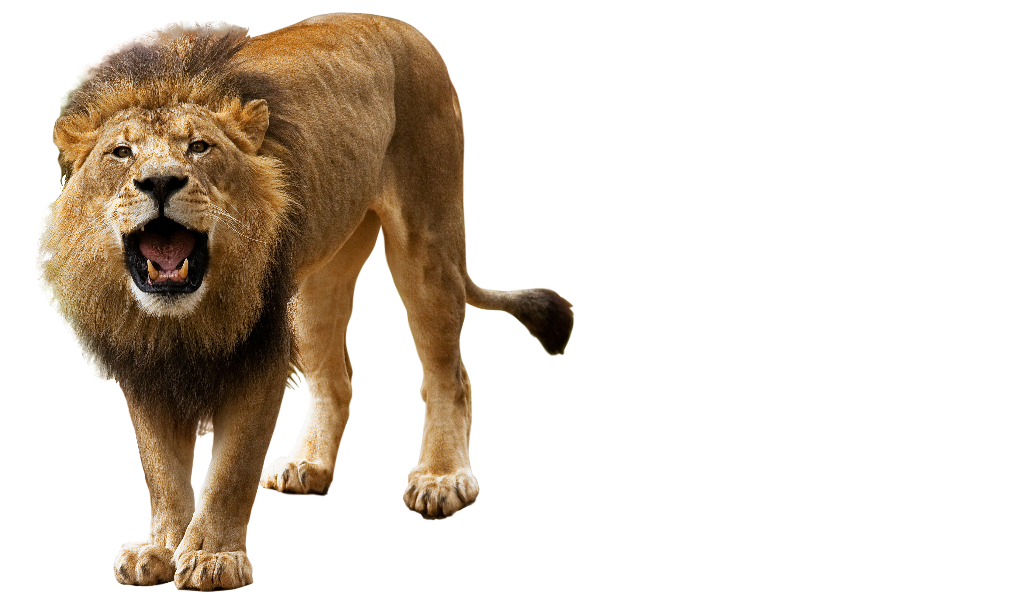 Lion png. Transparent pictures free icons