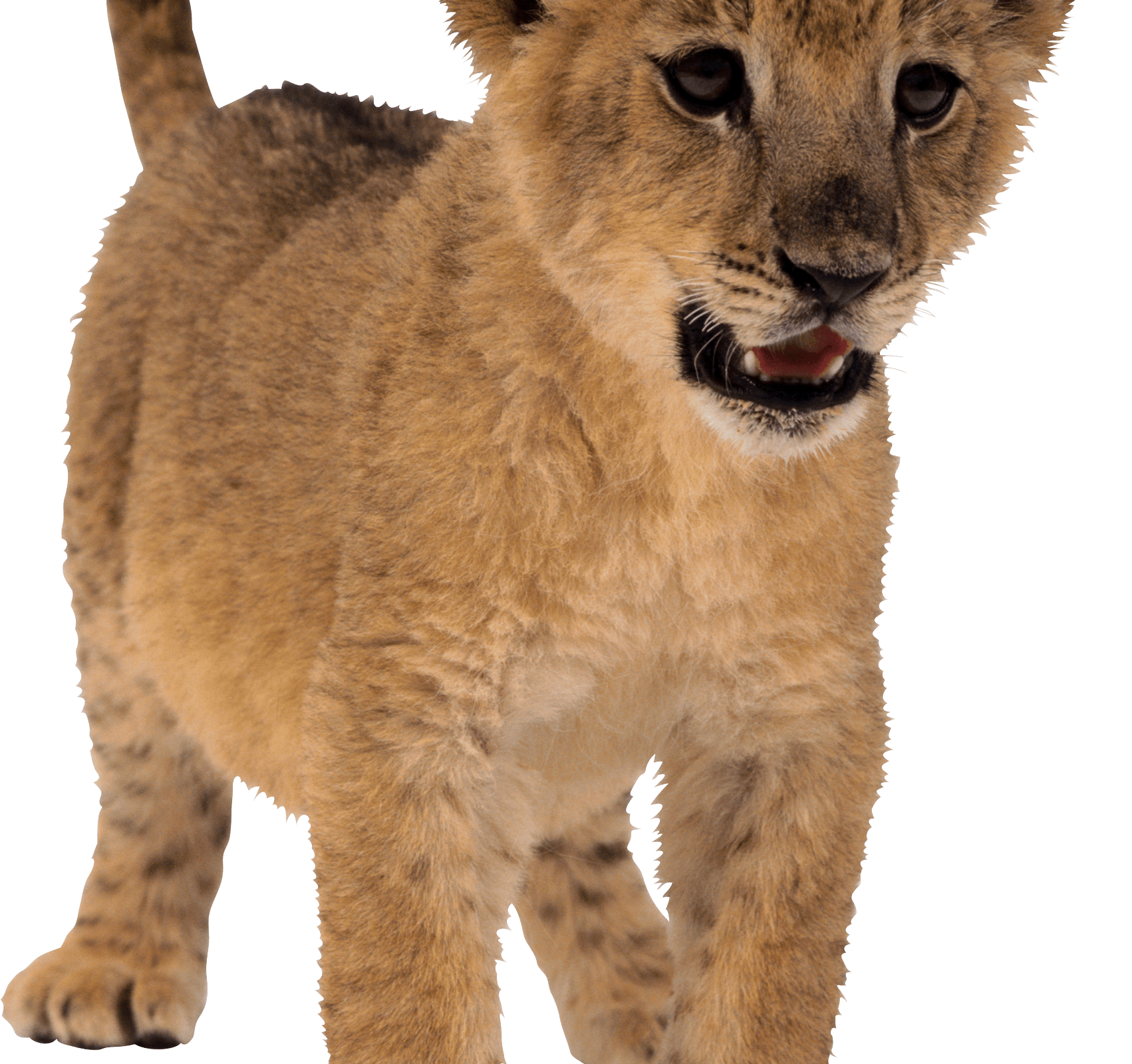 Baby lion png. Download hd wallpaper for