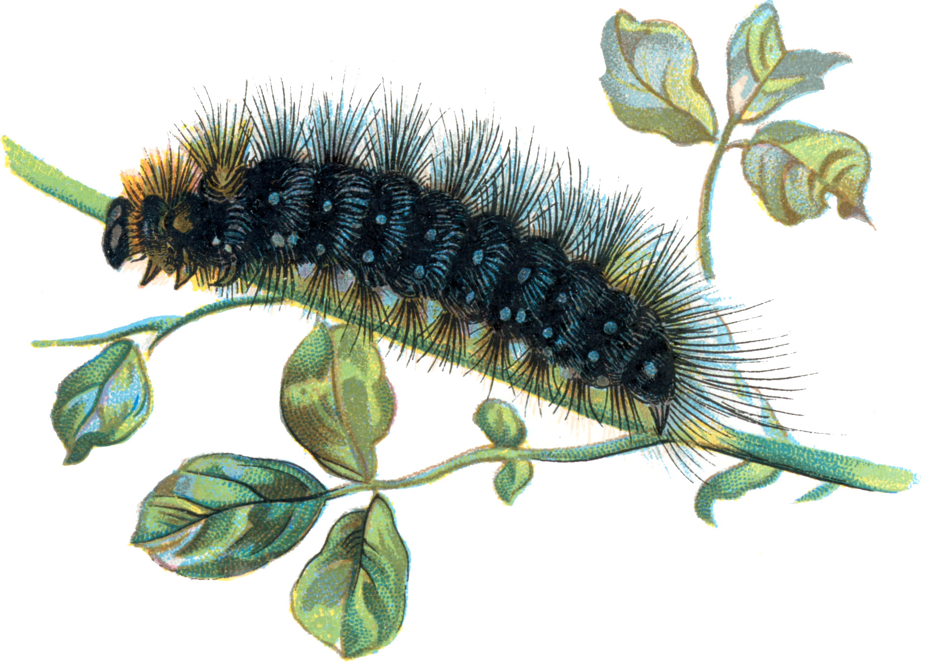 Baby monarch caterpillar png. Transparent images all