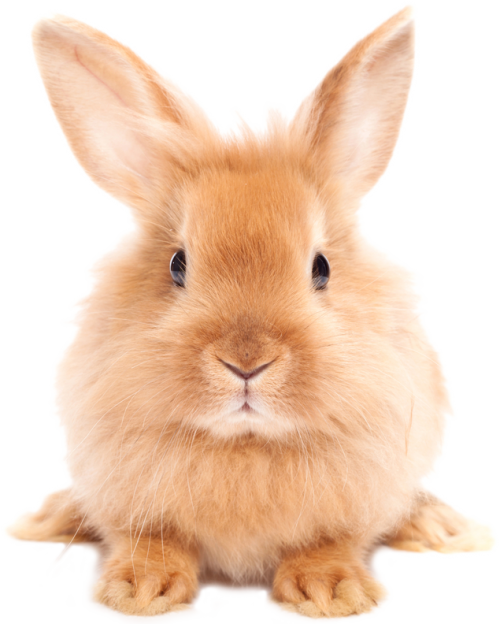 rabbit png