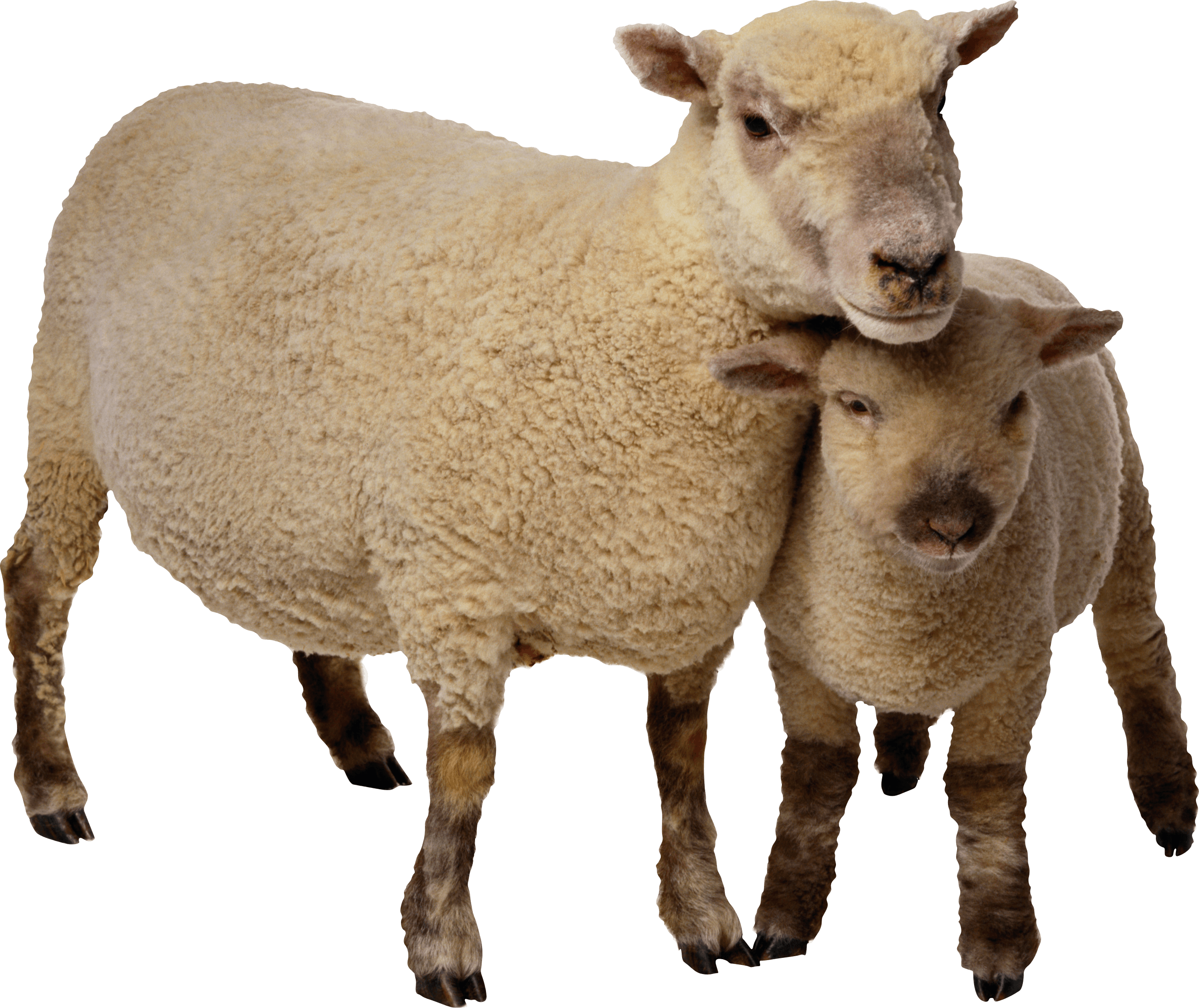 Baby sheep png. Mother and transparent stickpng