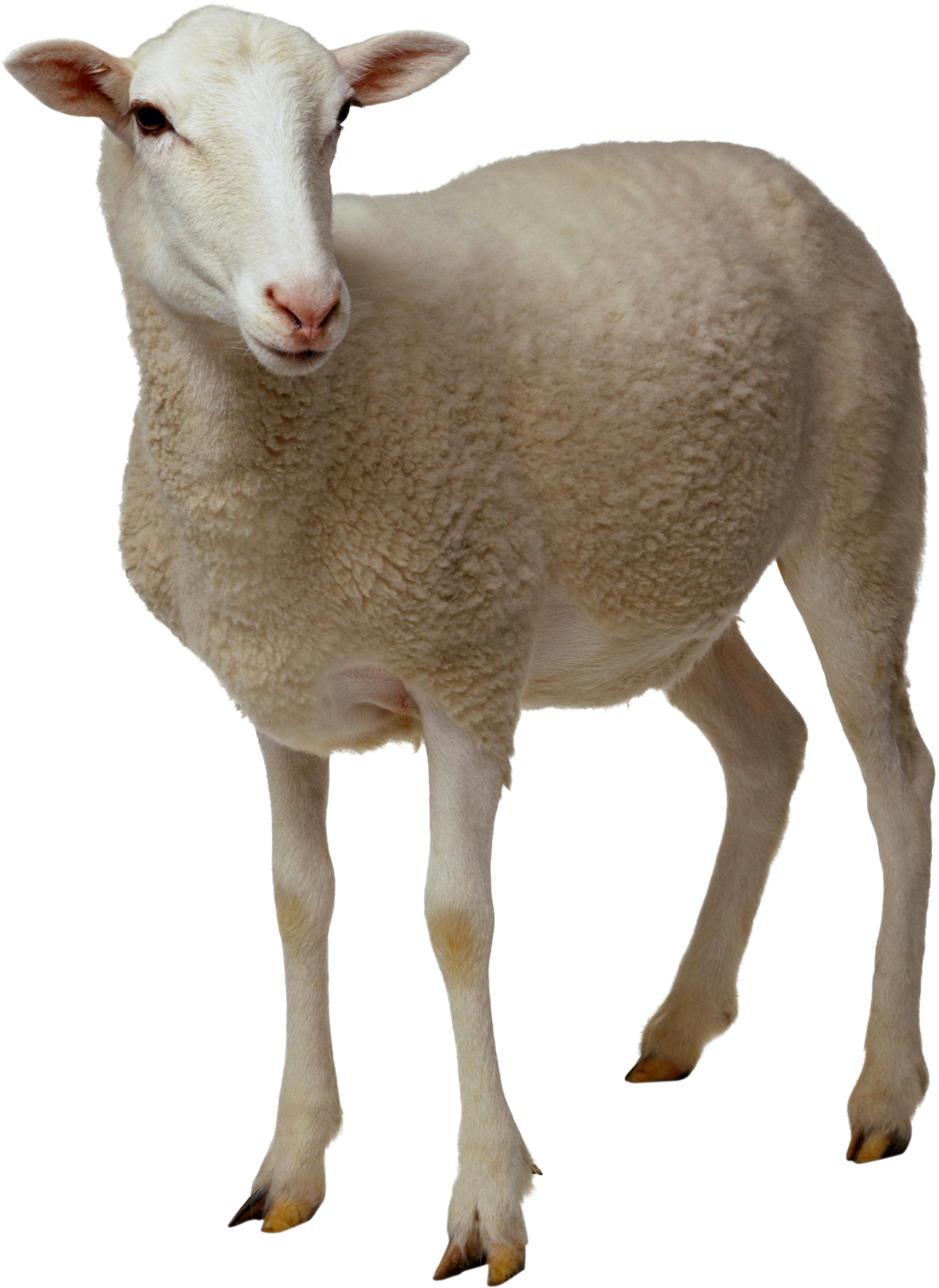 Screaming goat png. Sheep transparent professional images