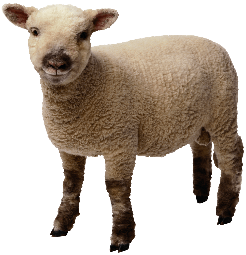 sheep png