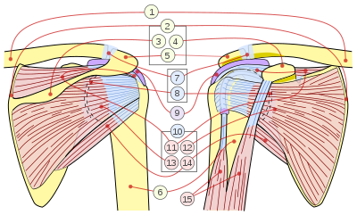 Scapula drawing. Rotator cuff wikipedia scapular