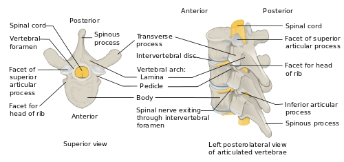 Vector plexus shape atlas. Vertebral column wikipedia anatomy