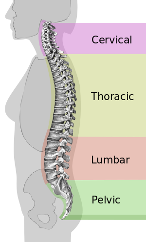 spine outline png