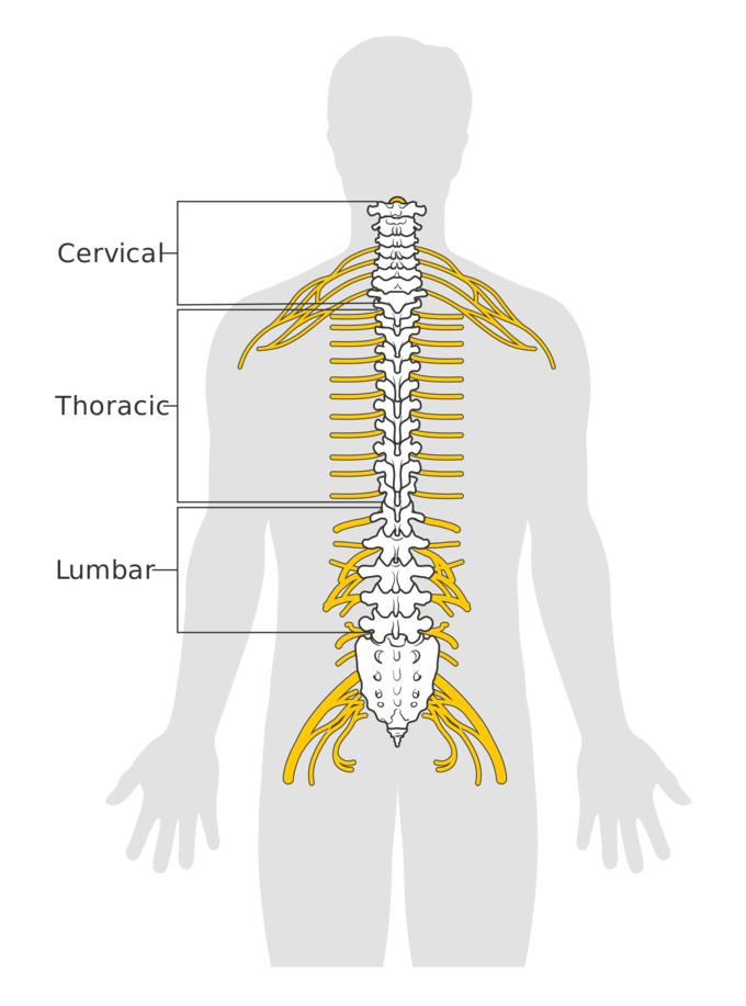 Vector spine spinal cord. The boundless anatomy and banner free download