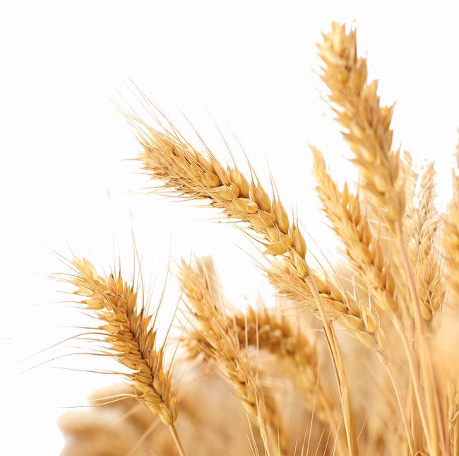 Background images png. Wheat image arts