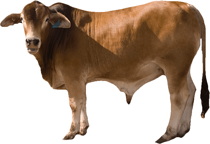 Background png images download. Free cow image with