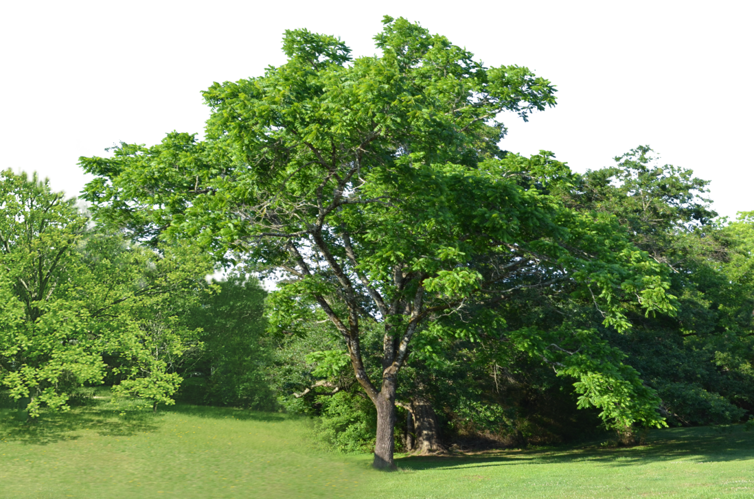 Clearing background stock by. Forest trees png banner free download
