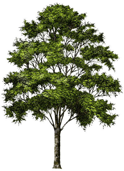 Background trees png. Download tree free transparent