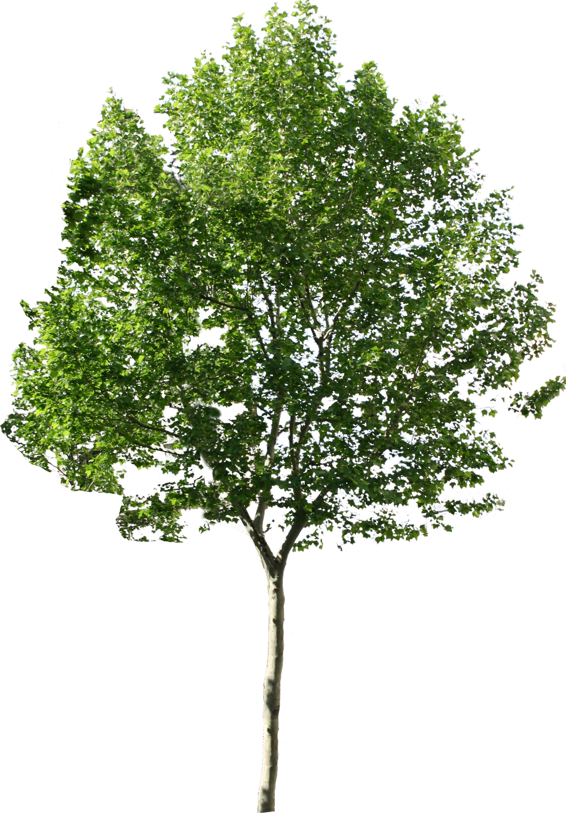 Background trees png. Plane tree pixels d
