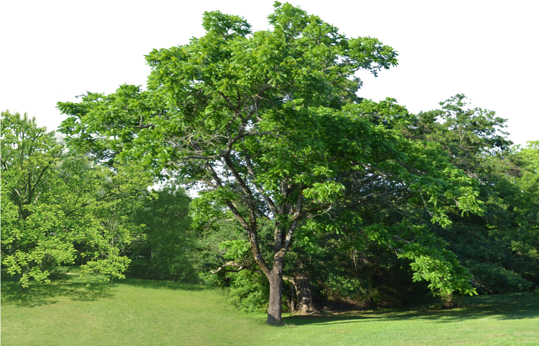 Background trees png. Download forest clearing stock