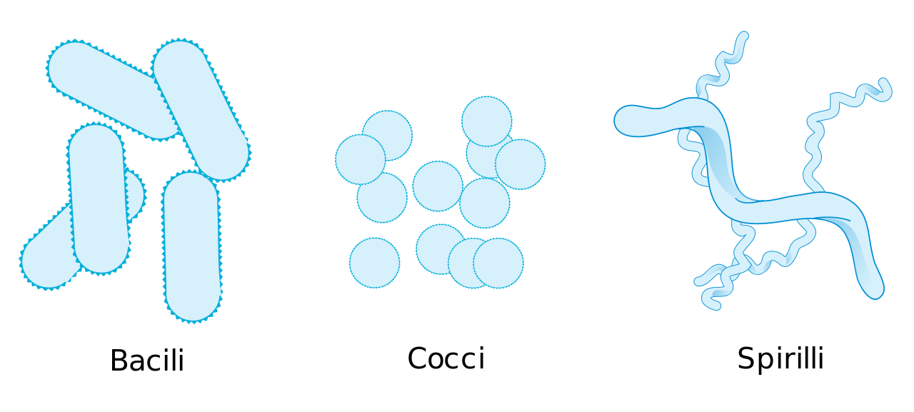 Bacteria png coccus. File morphologic forms simplified