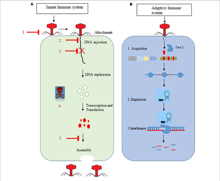 Bacteria png immune system. A b overview of