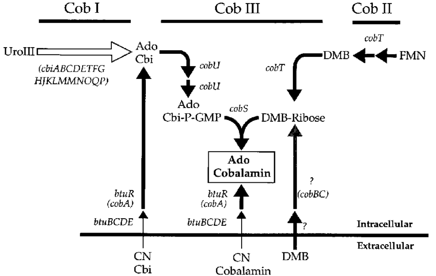 Bacteria png outline. Of cobalamin biosynthesis in