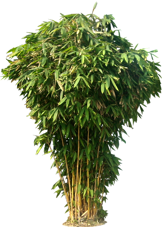 Bamboo plant png. Free tree images
