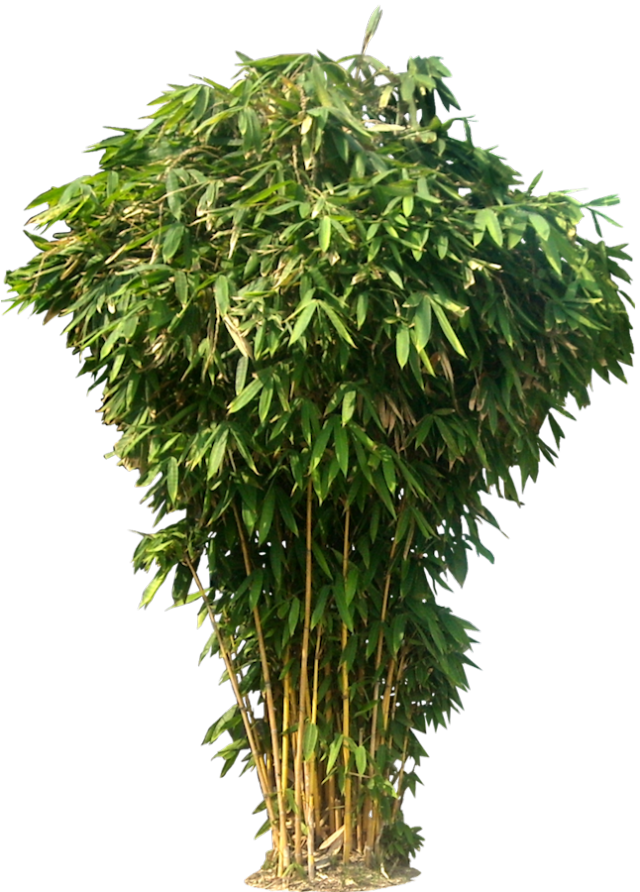 Bamboo trees png. Free tree images