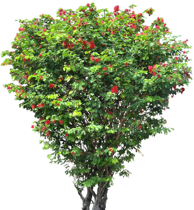 Fruit tree png. Images free cutouts