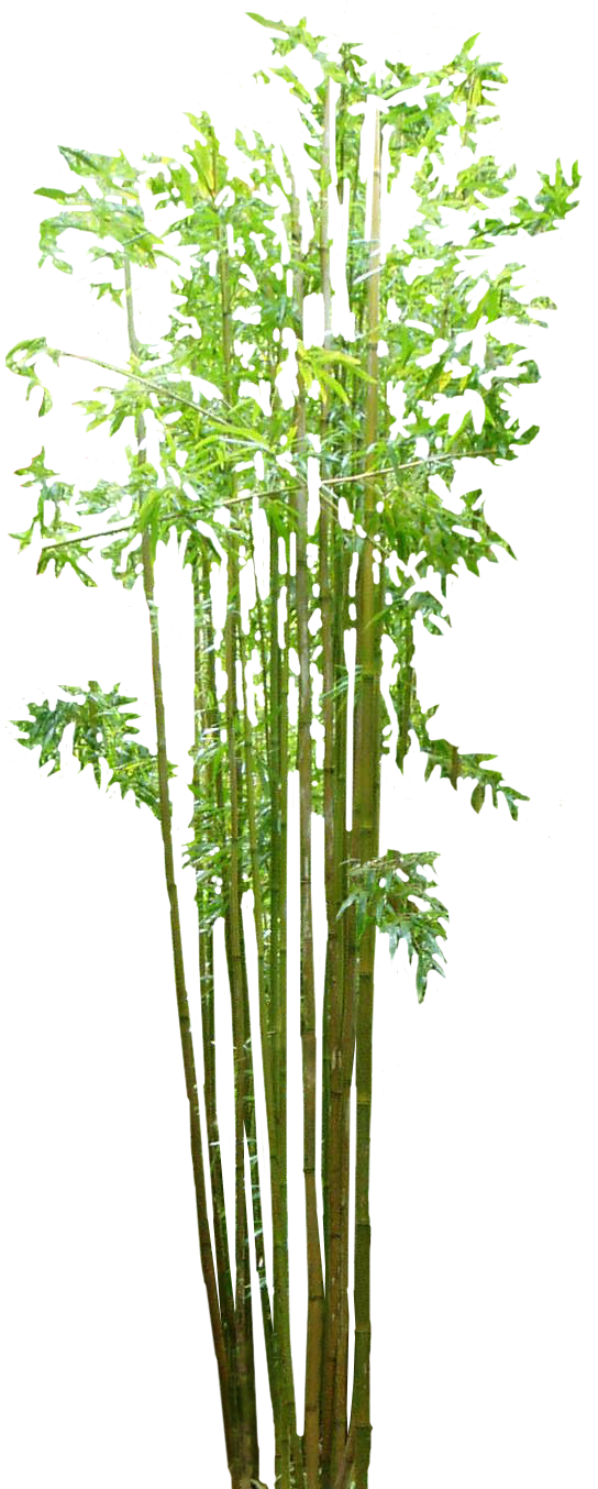 Bamboo trees png. Hd transparent images pluspng
