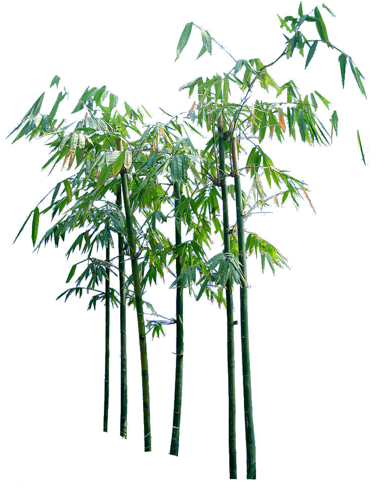 Bamboo trees png. Creative cartoon transprent free