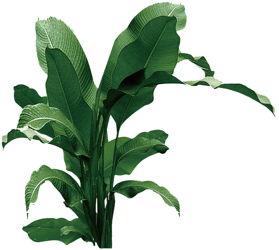 Banana leaves png. Download transpa for powerpoint