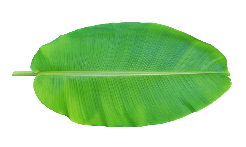 Banana leaves png. Leaf musa basjoo xd