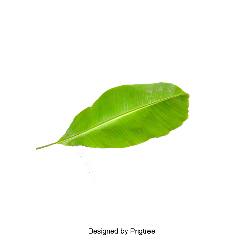 Banana leaves png. Leaf picture clipart in
