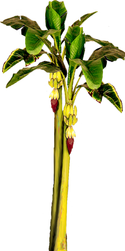 Banana tree png. With bananas by lilipilyspirit