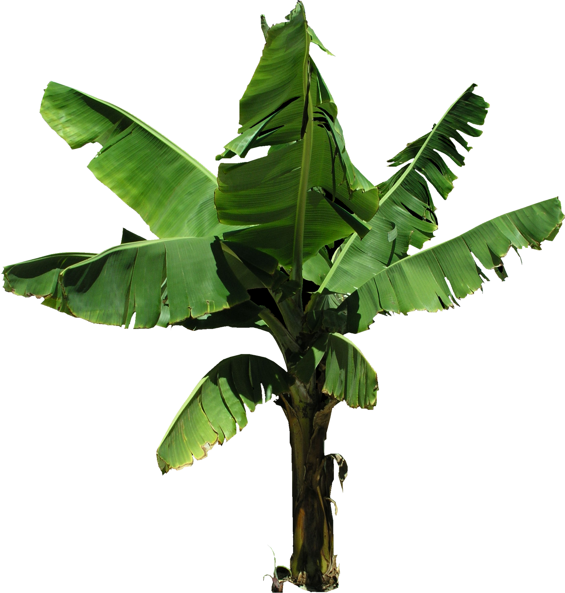 Banana tree png. High quality plantain flora