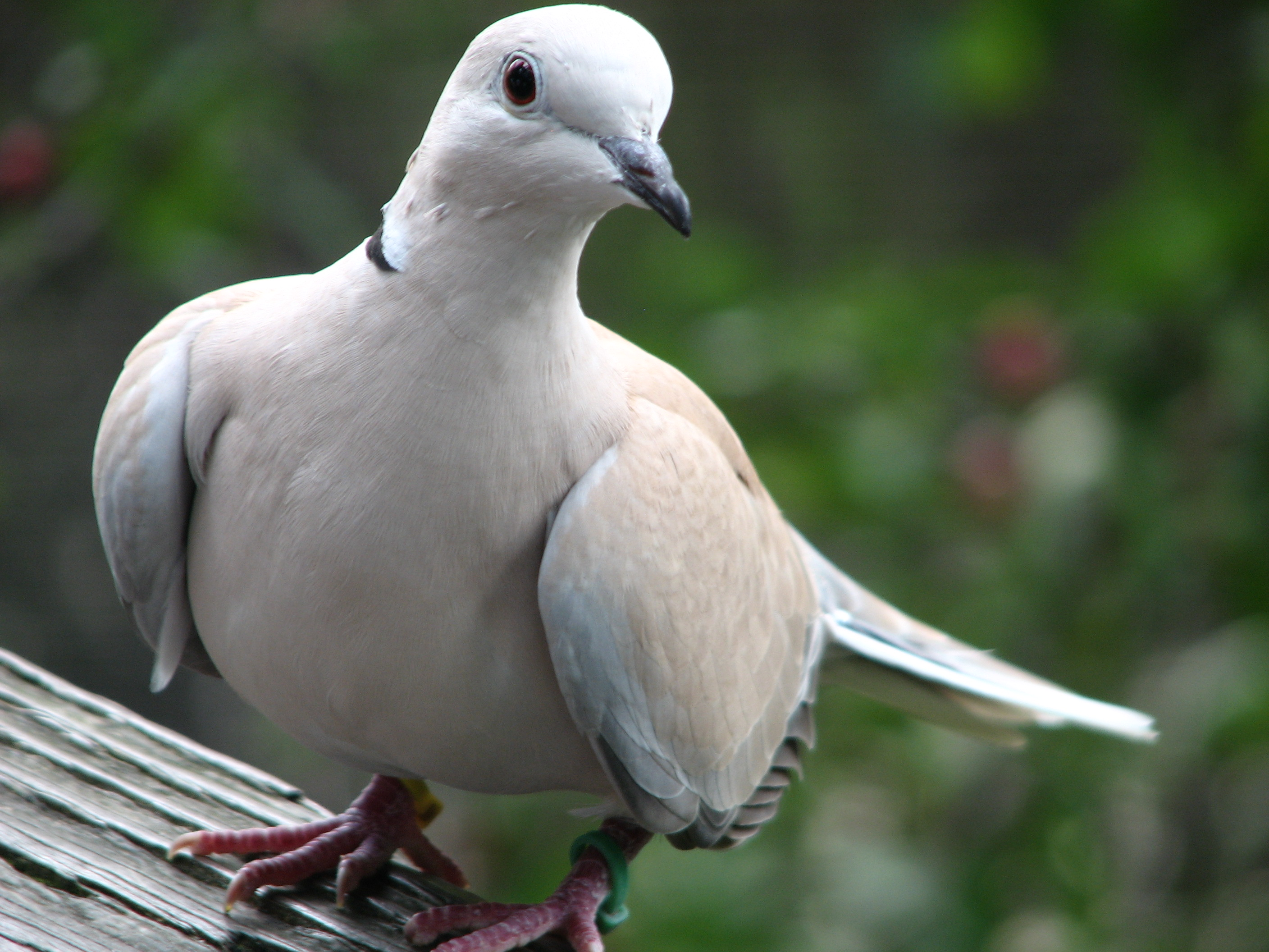 Barbary dove. File akron zoo jpg