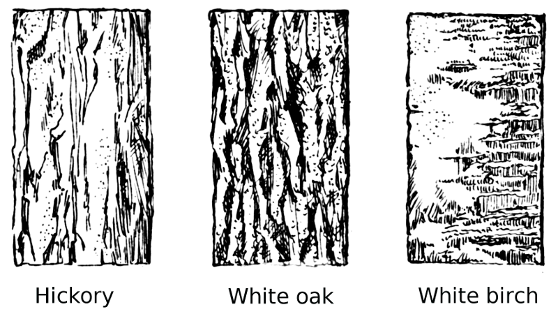 Bark drawing oak tree. Clipart