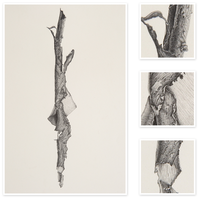 Bark drawing art. Strip from a eucalypt
