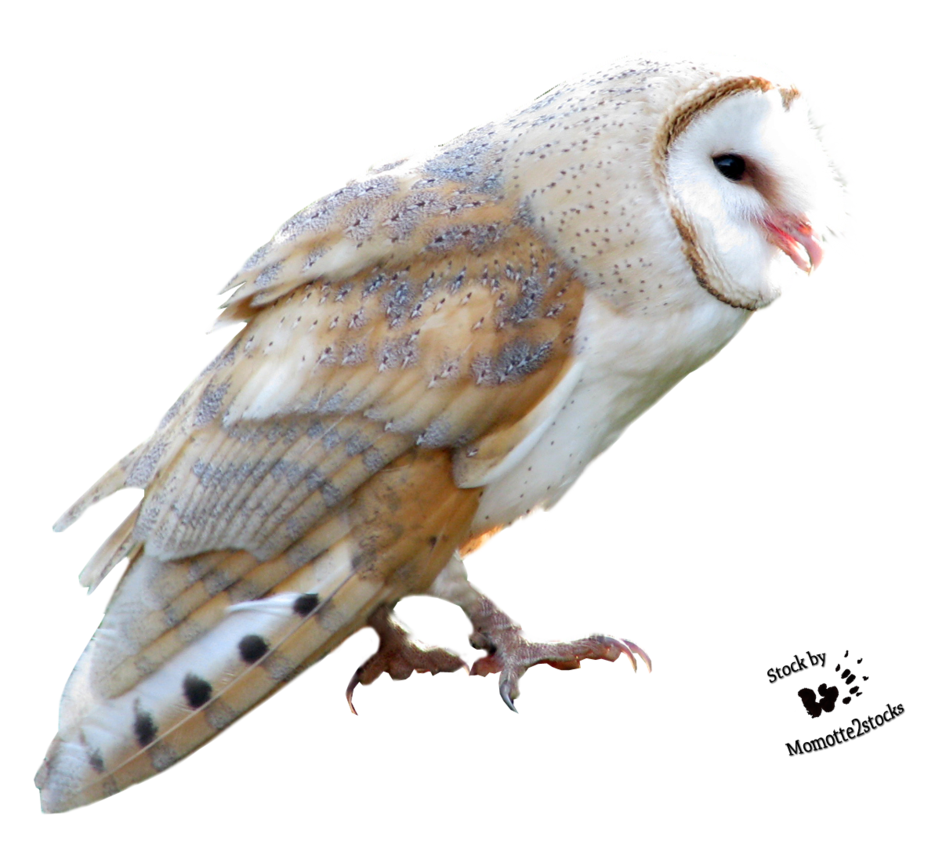 Barn owl png. Cut out stock sweet