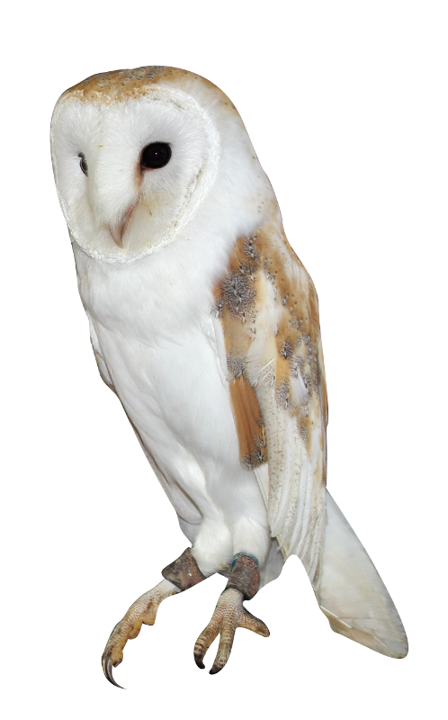 Barn owl png. Download free background image
