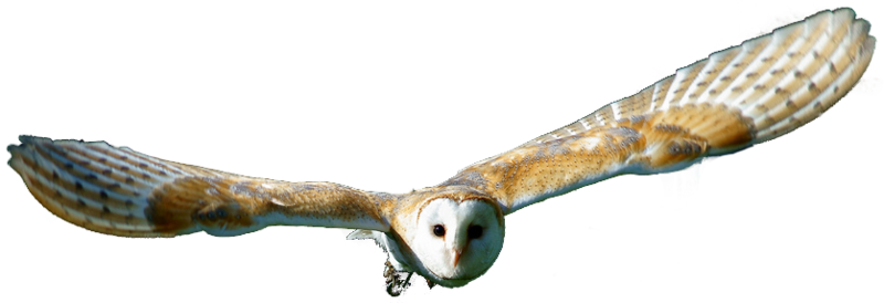 Barn owl png. Download free transparent hd