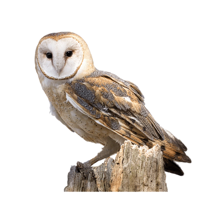Barn owl png. Boxes nesting for tawny