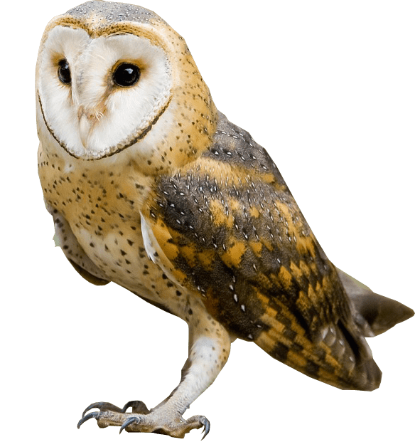Barn owl png. No background image transparent