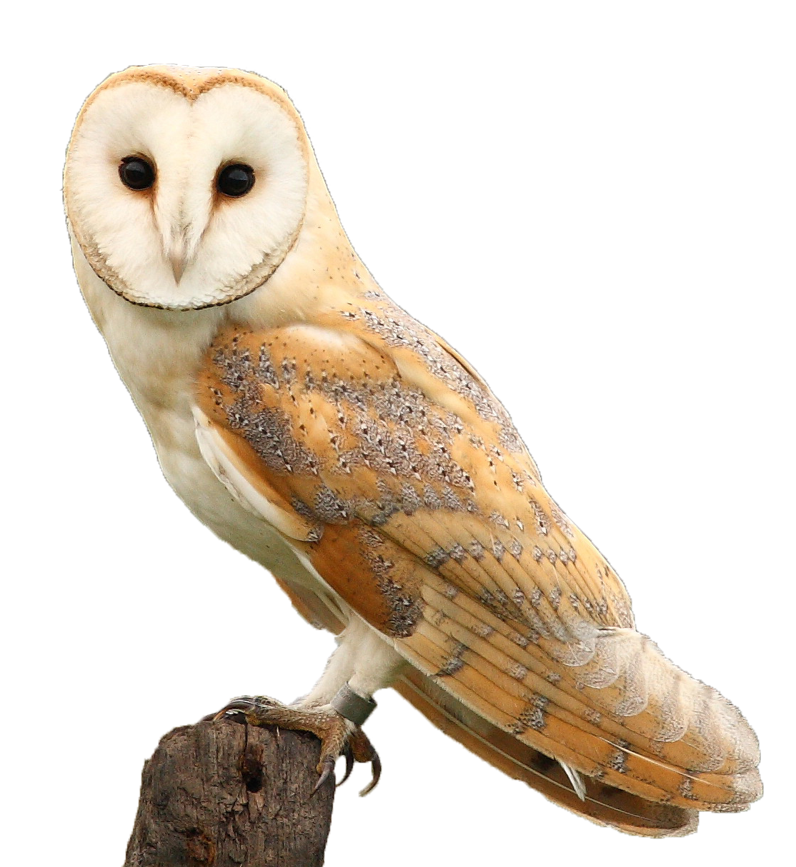 Barn owl png. Walk th july south