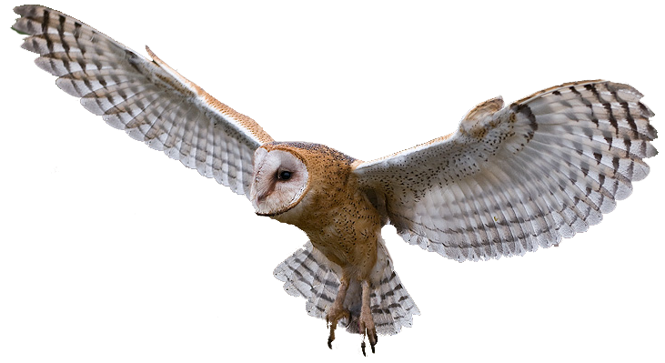 Barn owl png. By yotoots on deviantart