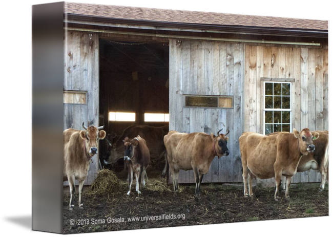 Barn png cow. Cows leaving the by