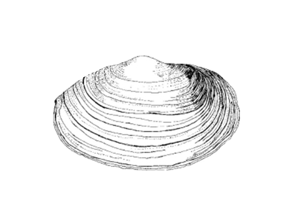 Drawing shell clam. Eat like a fish
