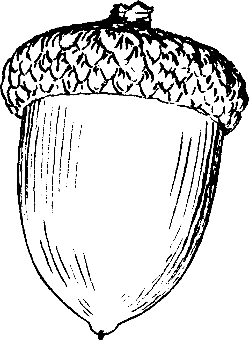 Barnacle drawing easy. Collection of acorn