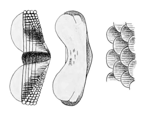 Snakeskin drawing body. Chiton chitons of new