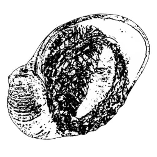 Barnacle drawing rock. Publications etc dr chong