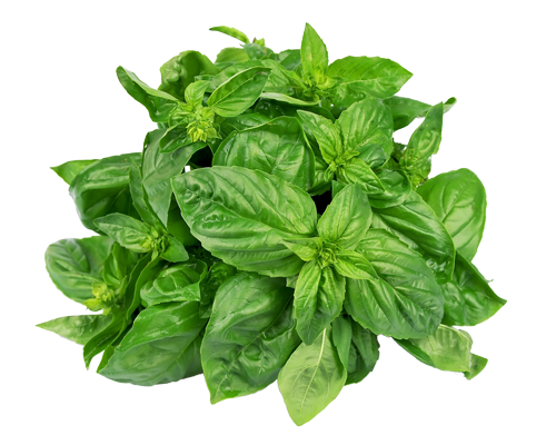Basil plant png. Sweet cape locally grown