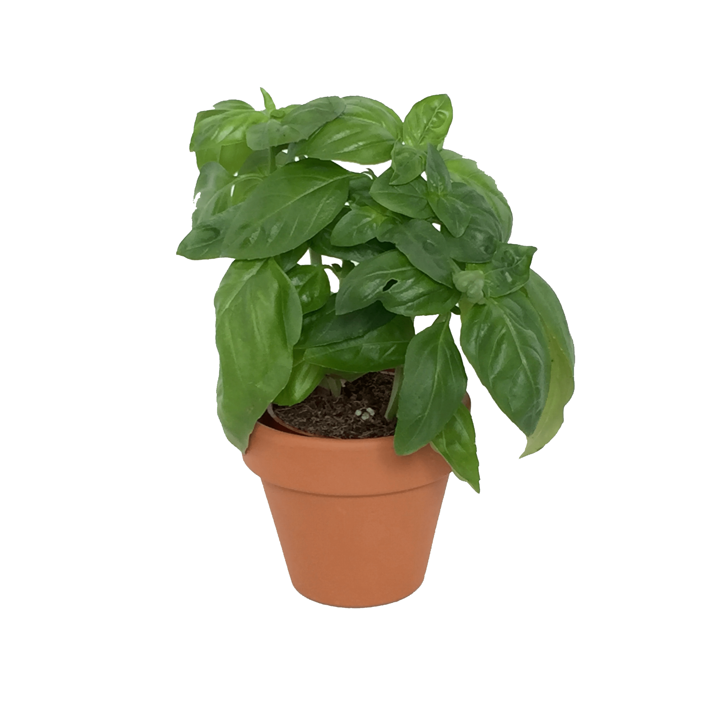 Basil plant png. Assorted mini herbs in